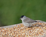 Blackcap on Seed Table