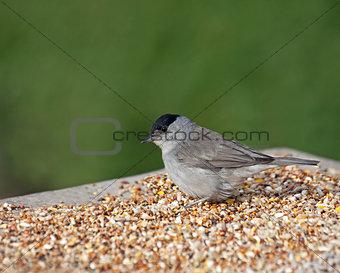 Blackcap on Seed Table