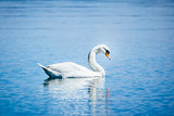 white swan