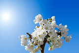 Cherry Blossoms on a Blue Sky