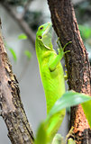 The Green Lizard