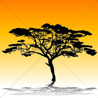 Acacia tree silhouette