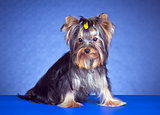 Young Yorkshire Terrier sitting