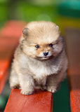 Beautyful fluffy Pomeranian puppy