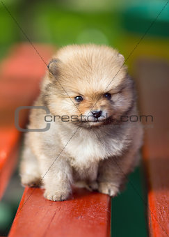 Beautyful fluffy Pomeranian puppy