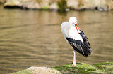 White stork at a lake (Ciconia ciconia)