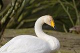Whooper Swan, Cygnus cygnus