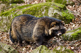 Raccoon dog, Nyctereutes procyonoides