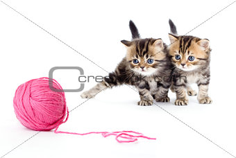 two kitten pure breed striped british isolated with red clew