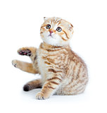 Striped Scottish kitten fold pure breed sitting isolated