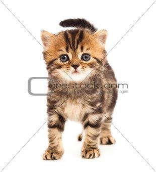 tabby british little kitten looking forward isolated