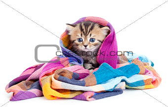 kitten pure breed striped british in colorful tippet or scarf is