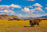Bisons enjoying the peace in Yellowstone National Park, USA