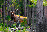 Elk in the Jungle in Yellowstone National Park,USA