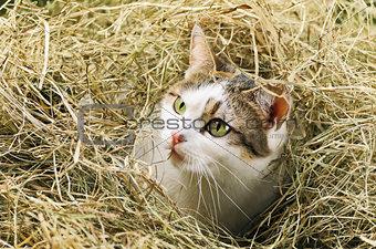 Cat In Hay