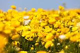 blooming ranunculuses
