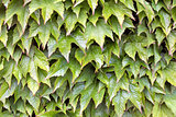 Boston Ivy Climbing Vines Background