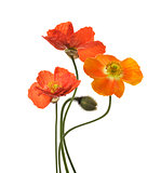 Poppy Flowers