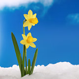 Spring season daffodils in snow