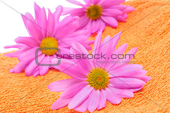 pink chrysanthemums on an orange towel