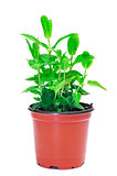mint plant
