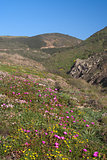 Wild flowers of the Algarve, Portugal