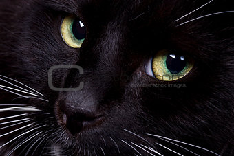 Black domestic cat s face closeup