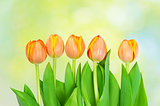  tulips  growing on natural bokeh