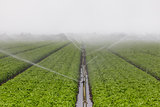 Lettuce Field Irrigation