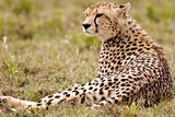 Resting Alone Cheetah