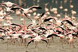 Running Crowd of Flamingo