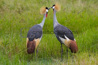 Kissing Crowned Cranes