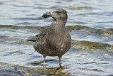 Sea Bird, Australia