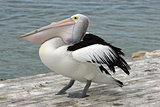 Australian Pelican, Kangaroo Island