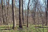 Oak-ash wood in spring
