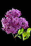 Flowering branch of lilac.