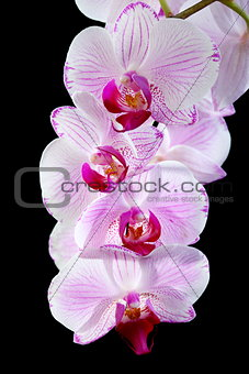 Blooming pink orchid.