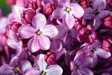Lilac flowers close up.