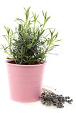 Bush of lavender in pink pot.