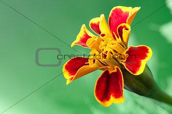 """Red marigold flower """"Tagetes"""""""