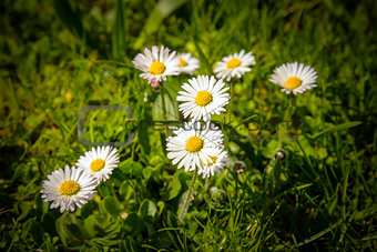 Daisies in green meadow