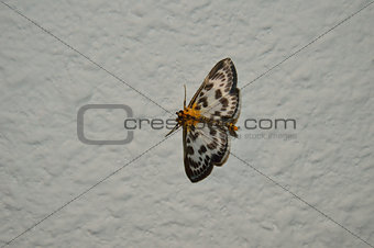 moth on wound