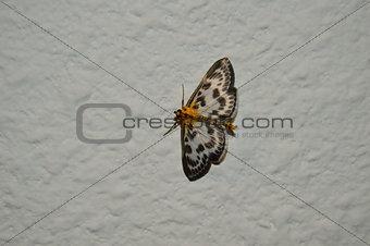 moth on wound