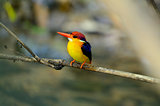 female Black-backed Kingfisher (Ceyx erithacus)