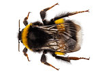Bumblebee species Bombus terrestris