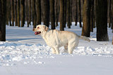 yellow labrador in winter