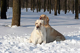 two yellow labradors in winter