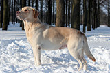 yellow labrador in winter park