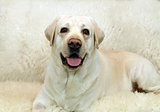 Yellow labrador portrait