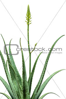 Blooming Aloe Vera isolated